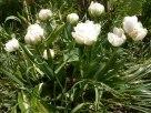 Gefuellte, weisse Tulpen 4