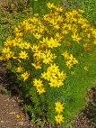 Maedchenauge – Coreopsis verticillata 2