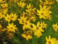 Maedchenauge – Coreopsis verticillata 3