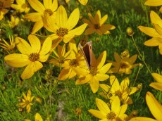 Maedchenauge – Coreopsis verticillata 4