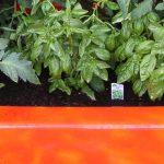 Tomato Plants in an Orange Fiberglass Shower Tub