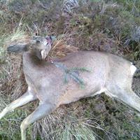 Poor head shoot roe deer