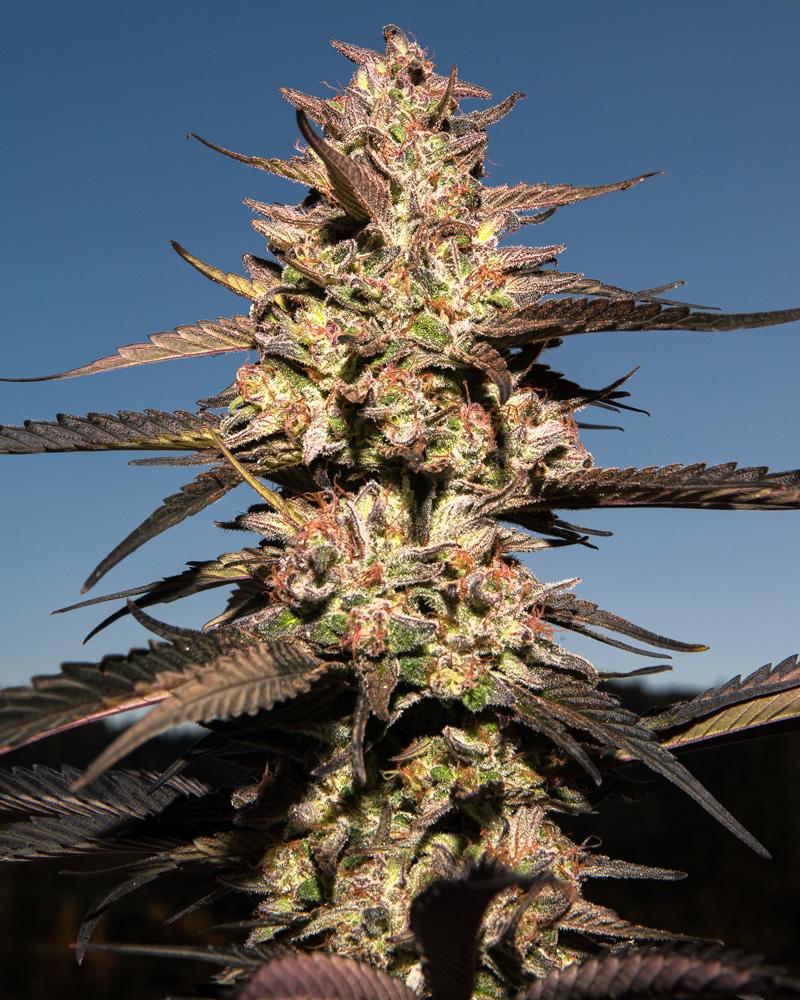 Roganja Southern Oregon Cannabis Pomegranate Punch F2