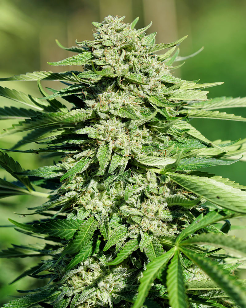 Roganja Southern Oregon Cannabis Wildfire Zkittlez