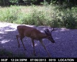 white-tailed buck on the move