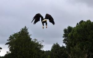 Eagle take off-small