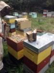 Hive-ho in a bee yard