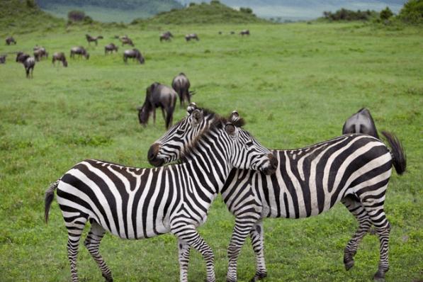 Zebras Hugging