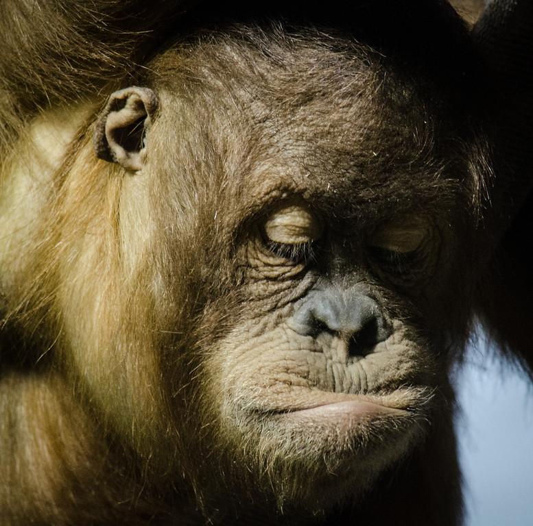ape image