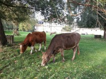 I didn't fact check, but whilst parading around the outside of campus, I overheard a tour guide say that cows are permitted to graze on campus with 6 months of free rent per year-- what a deal! (A what an excellent backdrop to such a beautiful park. :)