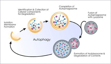 how to increase autophagy for lifespan extension