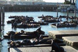 Sea Lions sunbathing on the docks at Pier 39 in San Francisco's Fisherman's Wharf.