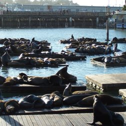Sea Lions sunbathing on the docks at Pier 39 in San Francisco's Fisherman's Wharf.