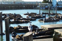 The Sea Lions at Pier 39 in San Francisco are a huge attraction for tourists.