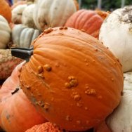 Roguetrippers pick some of the best pumpkins at Strom's Farm in Guelph