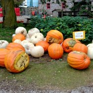 Pumpkins of all Sizes at Strom's Farm in Guelph.