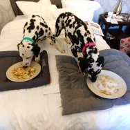The Dalmatians of Randoms Travels love the Doggy room service menu at the Hawthorne Hotel in Salem.
