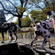 Dalmatian-Salem-Witch-trials-cemetery