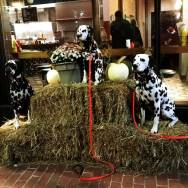Dalmatians-in-Salem-Massachusetts