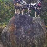 Randoms Travels Dalmatians pose for photos on hiking adventures
