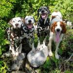 Randoms Travels Dalmatians go on Hiking adventures all the time
