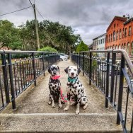 Dalmatians-Bedlam-Acres-visit-Savannah-Georgia