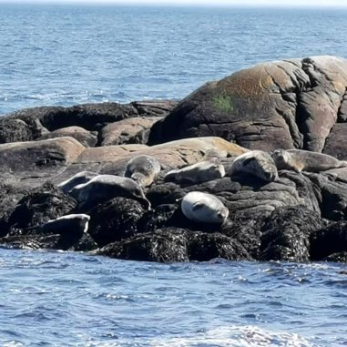 Seals relaxing on the rocks at Duncans Cove near Halifax