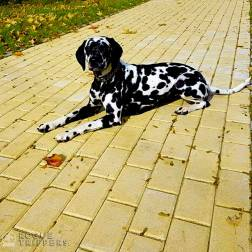 Random the Dalmatian is happy to fill in for Toto in the Wizard of OZ