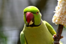 Rose ringed parakeet- This is a female bird, it lacks rose pink collar. Found mainly in India,Sri lanka and Bangladesh