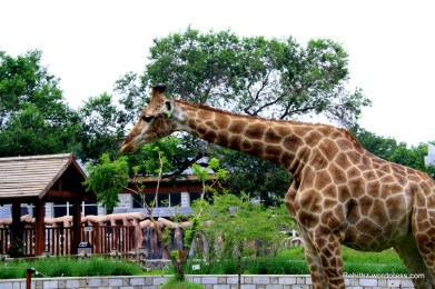 Giraffe at CC zoo