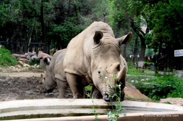 Rhino at Changchun Zoo