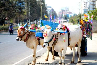 Decorated Cows