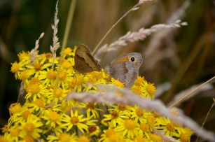 Meadow brown ragwort.
