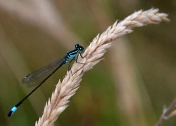Blue tailed damselfly.
