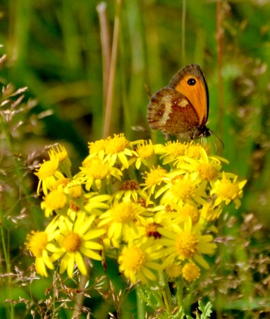 Gatekeeper on ragwort