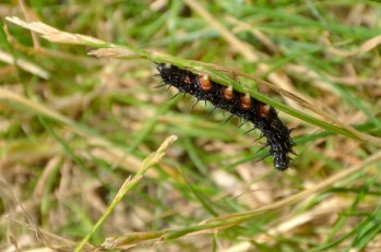 Caterpillar of what butterfly?