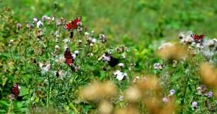 Butterflies on thistles
