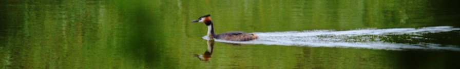 Grebe coming home