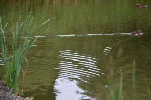 Ripples on the pond