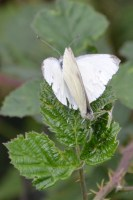 Small whites at it