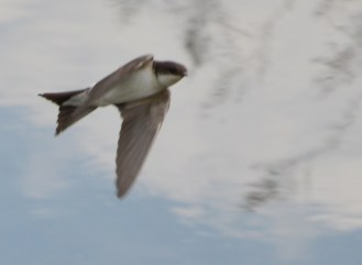 Swallows feeding over the canal