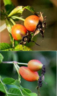 hips and haws