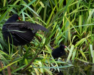 Moorhen with tiny chick