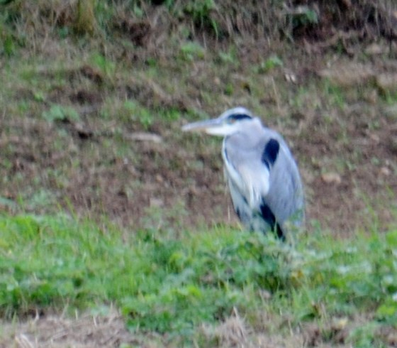 Heron in the distance