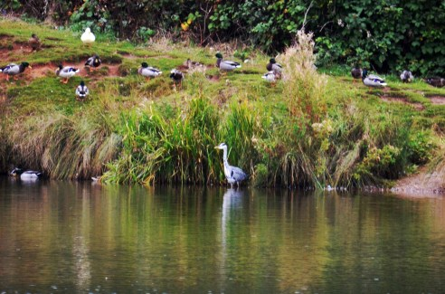 Heron in the mallards' patch