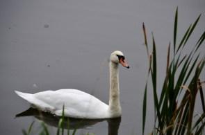 Swan being photogenic