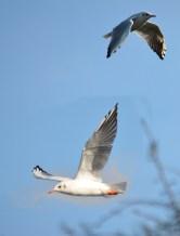 Gull (twice)