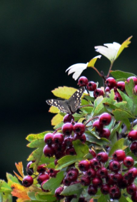 Speckled on hawthorn