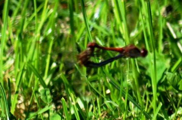 Darters (ungood pic - sorry)