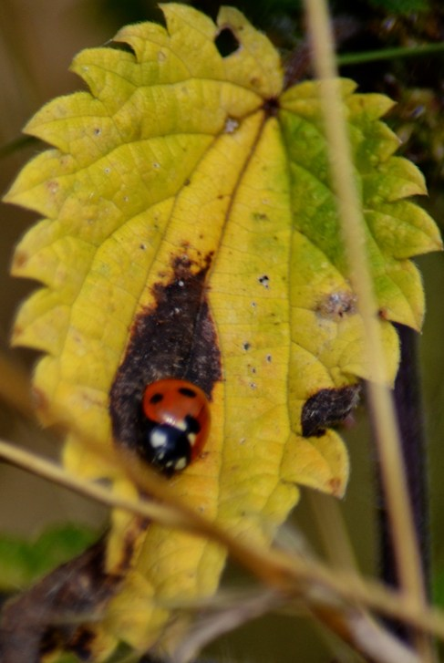 Ladybird